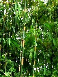 bambu tamiang